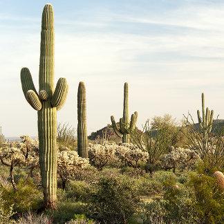 Saguaro Cactus, Arizona,USA