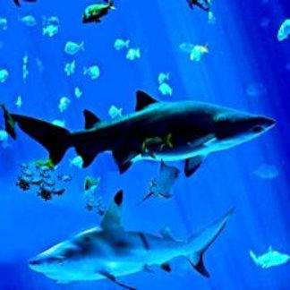 2 Black Tipped Sharks