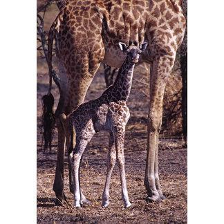 Baby giraffe and mother, Tanzania