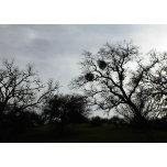 Card-Oaks-Mistletoe-Dark-Sky.png