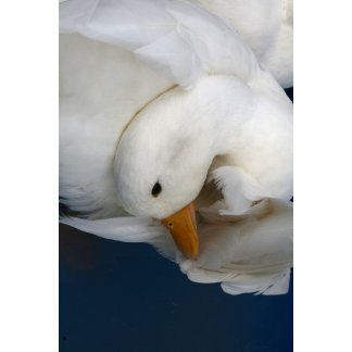 White Pekin Duck with head tucked under picture