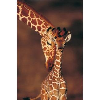 Adult Giraffe with calf (Giraffa camelopardalis)