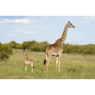 Masai giraffes, Giraffa camelopardalis