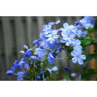 blue plumbago flowers close up