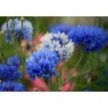 blue-cornflowers.jpg