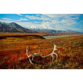 Caribou Antlers On The Alaskan Tundra