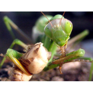 Praying mantis with cricket Parker