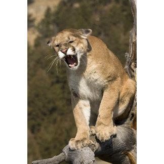 Puma or mountain lion, puma concolor, Captive -