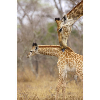 A side view of a Giraffe licking its young,