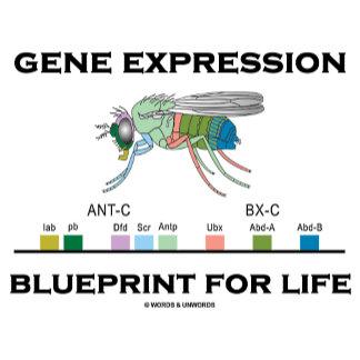 Blueprint (Fruit Fly Drosophila Genes)