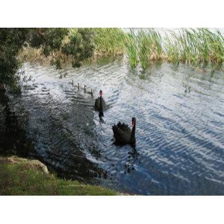 Black Swans, Perth