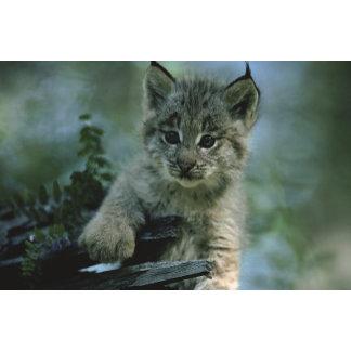 Adorable Baby Lynx