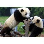 panda_bears.jpg