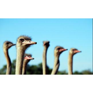 * Ostrich