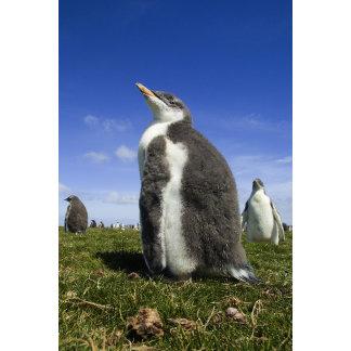 Gentoo Penguin, Pygoscelis papua, with fuzzy