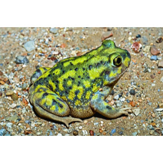 A Couch's Spadefoot toad