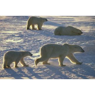 Polar bears Ursus maritimus) Two females,