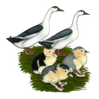 Blue Magpie Duck Family