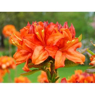 Rhododendron Flowers Azaleas Rhodies