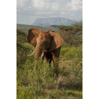 African Elephant, Loxodonta africana, in Samburu