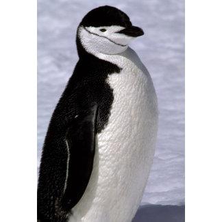 Antarctica. Chinstrap penguin