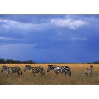 Grant Zebra 2