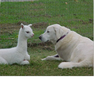 Shepherd and cria