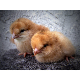 two rhode island red chicks photo vignette
