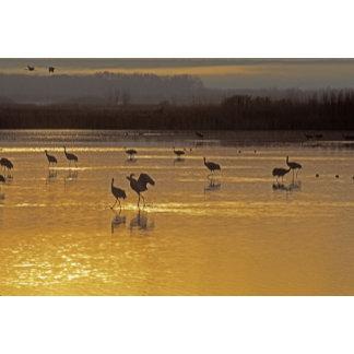 Sandhill Cranes Grus canadensis) Bosque Del
