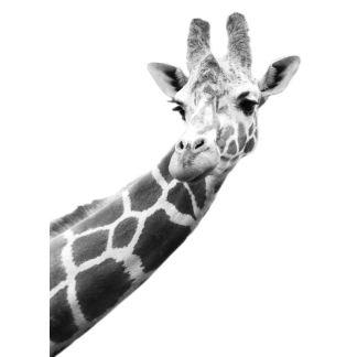 Black and white portrait of a giraffe