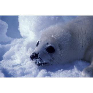 Harp seal (Phoca groenlandica) A harp seal pup