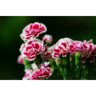 Dianthus #1
