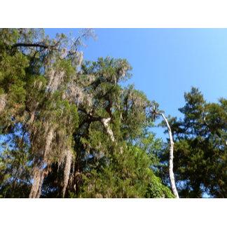 cedar covered in spanish moss