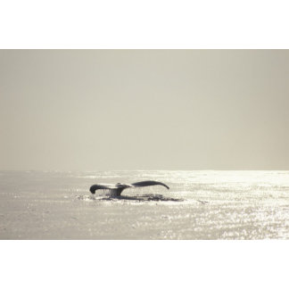 Humpback whale, tail over water surface