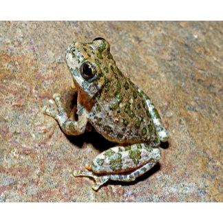 A Canyon Treefrog