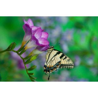 Eastern Tiger Swallowtail on Fresia - Sammamish