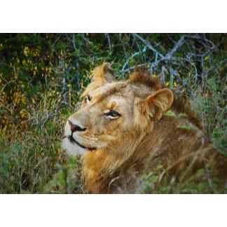 * Lion big cats