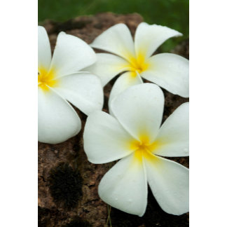 Lovely Tropical Blossoms In The South Pacific