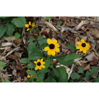 black eye susan flowers pretty field yellow flower