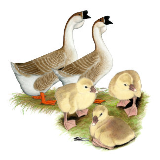 Buff African Goose Family
