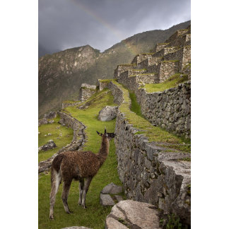 Llama stands on agricultural terraces with