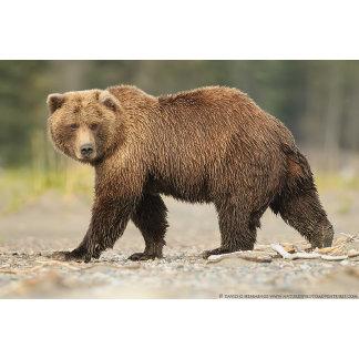 Alaskan Brown Bear 2