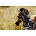 Zebra Foal.jpg