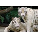 Singapore_Zoo_Tigers.jpg