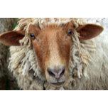 sheep may 2009068c 8x12.jpg