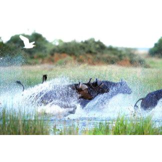 African Buffalo Magill