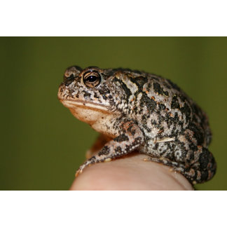 Small Toad Frog on finger against green door