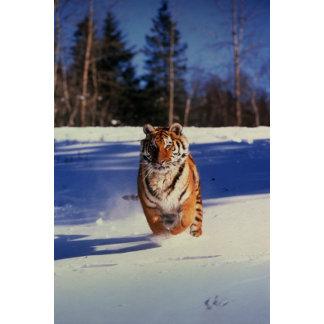 Tiger Racing Over Snow
