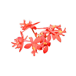 Flowers Salmon Tinted Ground Orchid