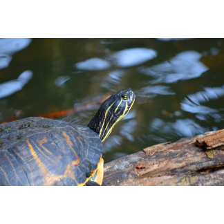 slider water turtle head out of shell